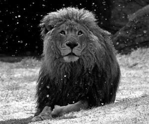 lion, animal, and snow image