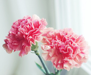 bokeh, carnation, and flower image
