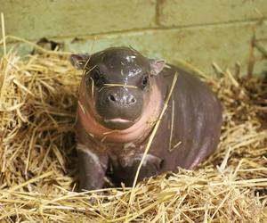 baby animals, cute animals, and pygmy hippo image