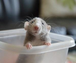 baby animals, cute animals, and rat image