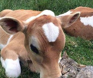 cat and cow image