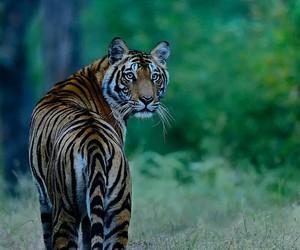 animal, nature, and tigre image