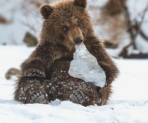 animal, bear, and ice image