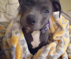 black, pit bull, and tattoo image