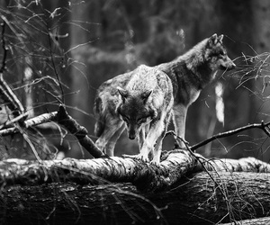 black and white, nature, and wolf image