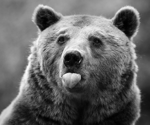 bear, animal, and black and white image