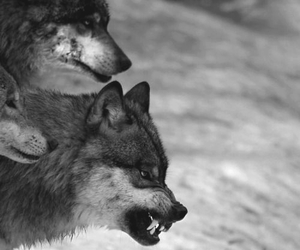 wolf, animals, and black and white image