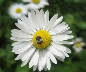daisy, flower, and love image