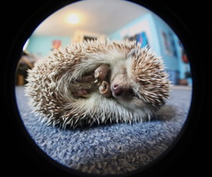 adorable, hedgehog, and sweet image