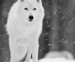 animal, black and white, and snow image