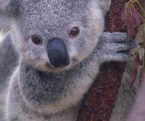 animal, cute, and Koala image