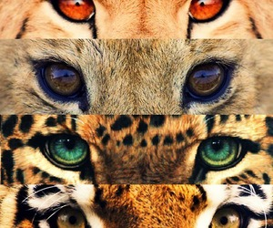 eyes, animal, and tiger image