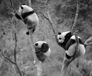 panda, animal, and tree image