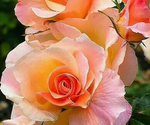 beauty, nature, and roses image