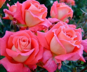 flower, rosas, and rose image