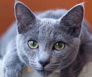 cat and russian blue image