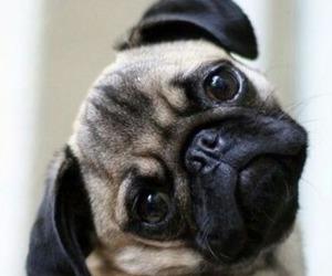 dog, cute, and pug image
