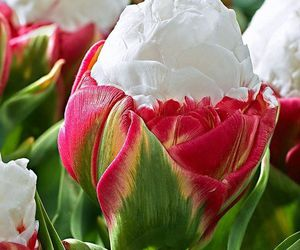 flowers and ice cream tulips image