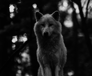 beautiful, black and white, and wolves image