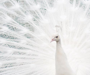 white and peacock image