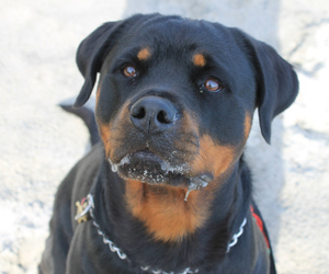 beautiful, dog, and rottweiler image