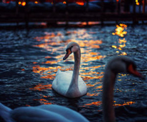 animal, Swan, and lights image