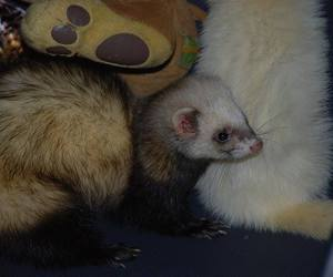 ferret and pet image