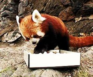 Red panda, cute, and adorable image