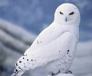 owl, animal, and white image