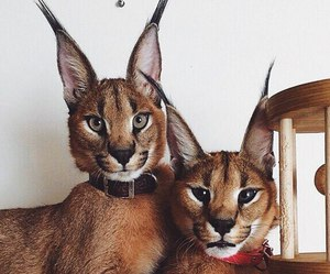 animal, cat, and beautiful image