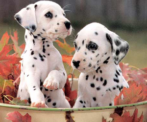 dalmatians, leaves, and dog image