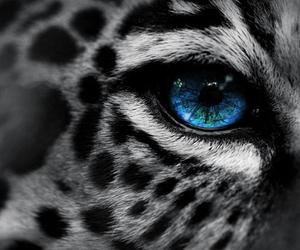 animal, eye, and leopard image
