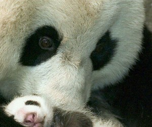 panda, bear, and animal image
