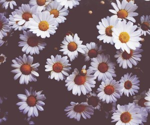 flowers, daisy, and flores image