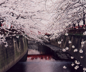 canal, cherry blossoms, and flowering trees image