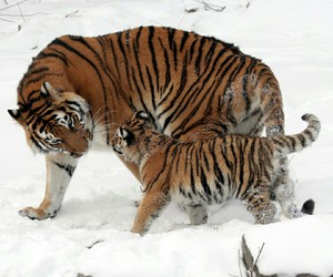 animals, tigers, and love image