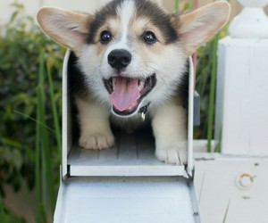 corgi and cute image