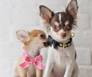 animals, chihuahuas, and couple image