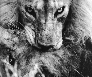 eyes, black and white, and lion image