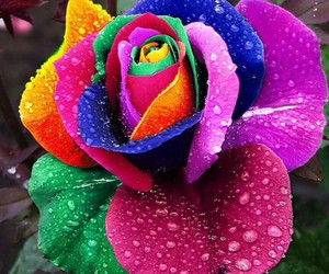 flowers, rose, and rainbow image