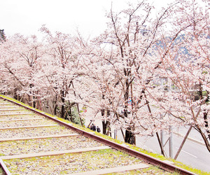 amazing, beautiful, and cherryblossom image
