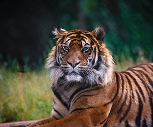 tiger and unflickered image
