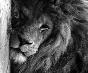 animals, black and white, and lion image