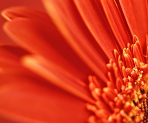 daisy, gerbera, and picture image
