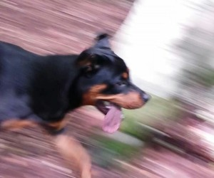 dogs and rottweiler image