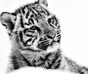 black&white, tiger, and cute image