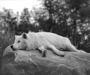 wolf and lazy life image