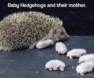 baby, cute, and hedgehog image
