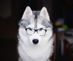 clever, dogs, and huskies image