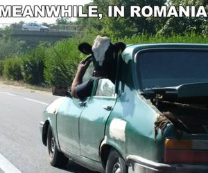 cow, funny, and romania image